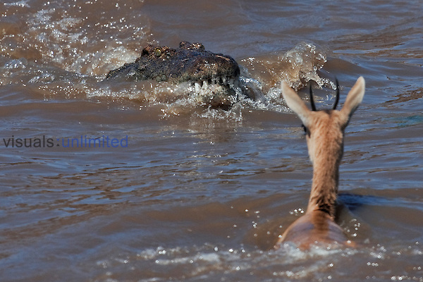 Nile Crocodile (Crocodylus niloticus) getting ready to attack a Thomson's Gazelle (Eudorcas thomsonii) as it crosses the Mara River, Masai Mara National Reserve, Kenya.