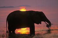 African Elephant (Loxodonta africana) feeding in Lake Kariba, Matusadona National Park, Zimbabwe.  Sunset.