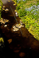 Fly fisherman fishing a small tannine river of the island of Flores at the Azores for rainbow trouts. Around him hydrangeas and tall grass and plants