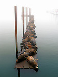 Sealions resting on a timber jetty with mist and still water
