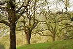 oak woodland in Forestville