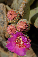 160950011 a wild beavertail cactus opuntia basilaris var basilaris produces large purple flowers near eureka dunes california