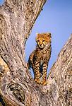 Cheetah cub, Masai Mara National Reserve, Kenya