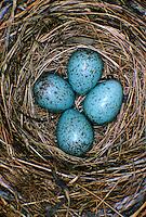 Amsel, Eier, Ei, Gelege im Nest, Schwarzdrossel, Schwarz-Drossel, Drossel, Turdus merula, blackbird