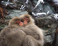 Two young Japanese macaques (snow monkeys) hug to keep warm on rock.