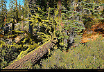 Forest Scene, Fallen Red Fir and Wolf Lichen, Abies magnifica, Letharia vulpina, Taft Point Trail, Yosemite National Park