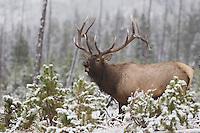 Elk, Wapiti, Cervus elaphus, bull calling, bugling in snow,  Yellowstone NP,Wyoming, September 2005
