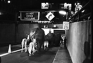 Because of transport strike, Ringling Bros. circus walks their elephants through the Holland Tunnel into New York City. They march them across 34th St. and into Madison Square Garden.