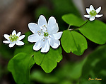 Rue Anemone wildflower in the Elkmont area of the Great Smoky Mountains National Park.