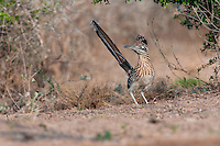Greater Roadrunner, taken on private South Texas ranch.