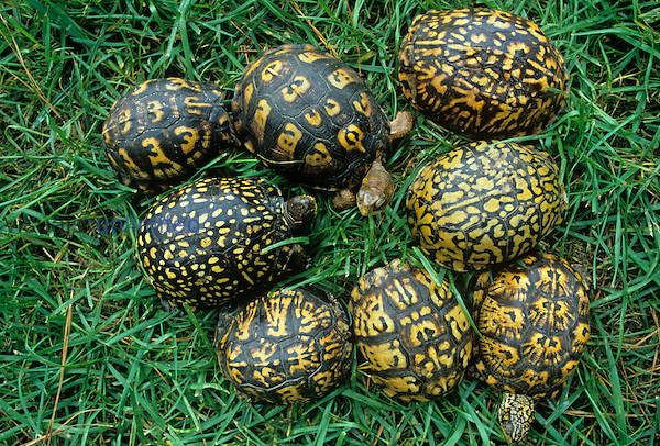 Color and pattern variation in Eastern Box Turtles ,Terrapene carolina,.