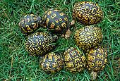 Color and pattern variation in Eastern Box Turtles ,Terrapene carolina,.