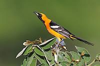 Hooded Oriole (Icterus cucullatus), male singing, Laredo, Webb County, South Texas, USA