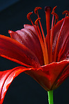 Asiatic Lilies -Red with Black Background