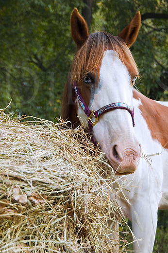 Horse with blue eyes eating roll hay...the old paint mare Sally.