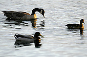 October 10, 2003 :   A flock of Canadian Geese and ducks could be seen swimming in Dyes Inlet along Lions Park beach in Bremerton, Washington..