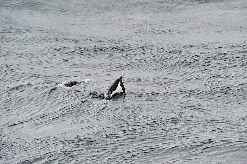 Bobbing for Apples - Penguins frolicking off Currerville Island