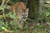 Puma (Felis concolor), Belize