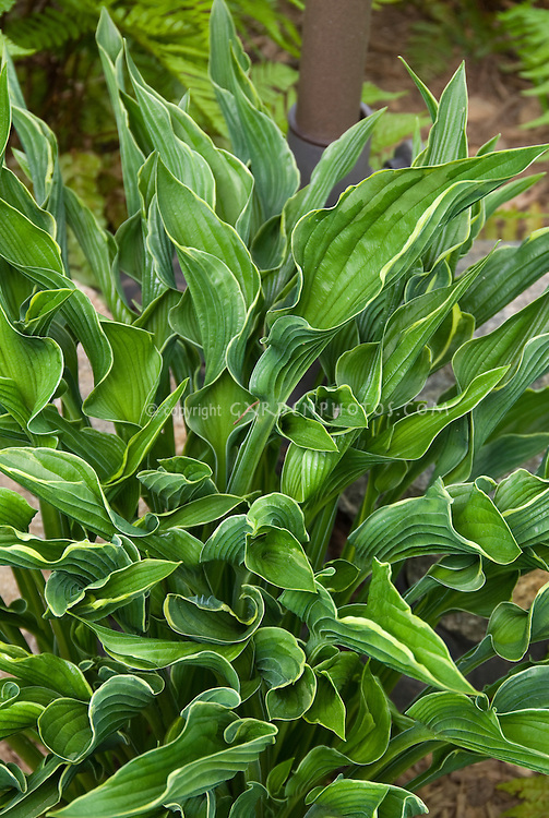 Hosta Praying Hands 2011 Hosta of the Year perennial foliage plant with cupped leaves