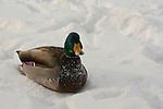 Mallard in the Snow