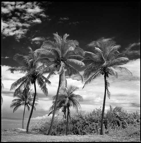 Coconut Trees, Santa Maria Beach, Havana, Cuba by Paul Cooklin