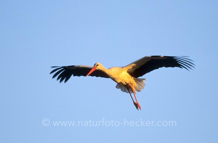 Weiss-Storch, Weissstorch, Weiß-Storch, Weißstorch, Storch, im Flug, Flugbild, fliegend, Ciconia ciconia, white stork