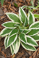 Alstroemeria 'Princess Fabiana' = Zaprifabi variegated foliage rosette of leaves