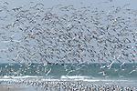 different species of terns on  Gaivotas sandbank.Envol de sternes royales et caugek devant les vagues de l ocean atlantique.Banc des Gaivotas.Gaivotas sandbank.