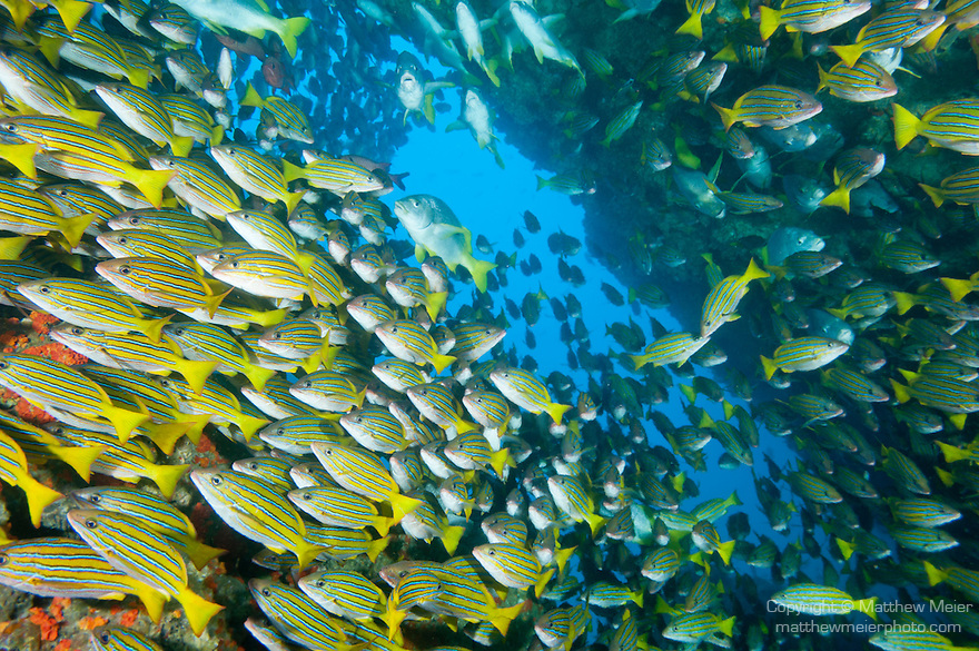 Cocos Island, Costa Rica; a school of Blue and Gold Snapper (Lutjanus viridis), Whipper Snapper (Lutjanus jordani) and Burrito Grunt (Anisotremus interruptus) fish fill the opening of a large underwater cave