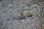 Rainbow trout swimming up river.