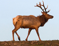 Tule Elk, Point Reyes California
