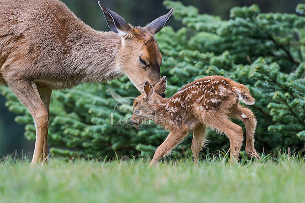Columbian black-tailed deer (Odocoileus hemionus columbianus) doe greeting/nuzzling her young fawn. Pacific Northwest.  Summer.