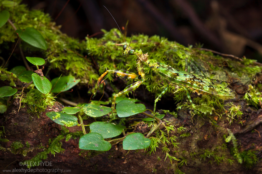 Green Praying Mantis {Majangella moultoni} camouflaged on algae-covered tree trunk. Danum Valley, Sabah, Borneo, Malaysia.