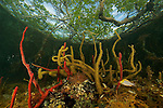 The view from below - under the mangroves...Rich invertebrate life including corals, tunicates, and sponges, cover the underwater portions of red mangrove roots on this offshore mangrove island in Belize.  ..This habitat is an important nursery area and provides shelter for many fish species..Tunicate Cove, Belize.