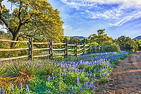 We capture this bluebonnet landscape late afternoon on the back road in the Texas Hill country.  We loved the bluebonnets growing along the road and this old cedar fence which gave it character.  The day was nice and sky was blue with nice clouds and trees budding out letting us know that spring is here.  Of course getting here was not that easy we had to go through multiple low water crossing with water up to the door but well woth it.