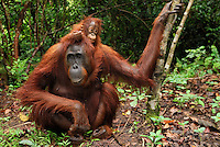Borneo Orangutan female with a baby (Pongo pygmaeus), Camp Leaky, Tanjung Puting National Park, Kalimantan, Borneo, Indonesia.