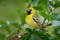 Immature male Orchard Oriole