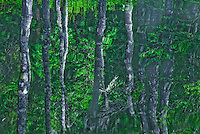 Birch tree reflecting in a pond