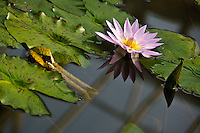 Nymphaea Waterlily in bloom at the National Botanical Garden of Belgium, in Meise.
