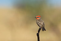 530180043 a wild male vermillion flycatcher pyrocephalus rubinus perches on a dead mesquite tree branch in the madera grasslands green valley arizona united states