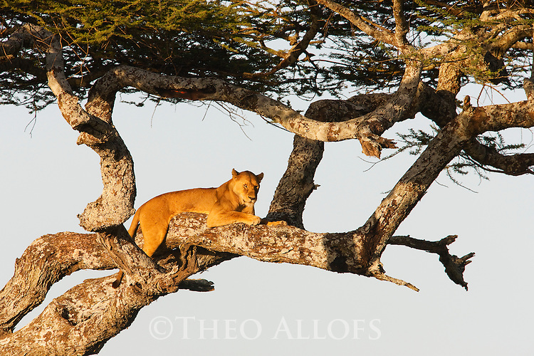 Tanzania, Serengeti, lioness in tree