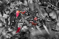 A splash of red leaves in color surrounded by leaves in black and white at the Japanese Gardens