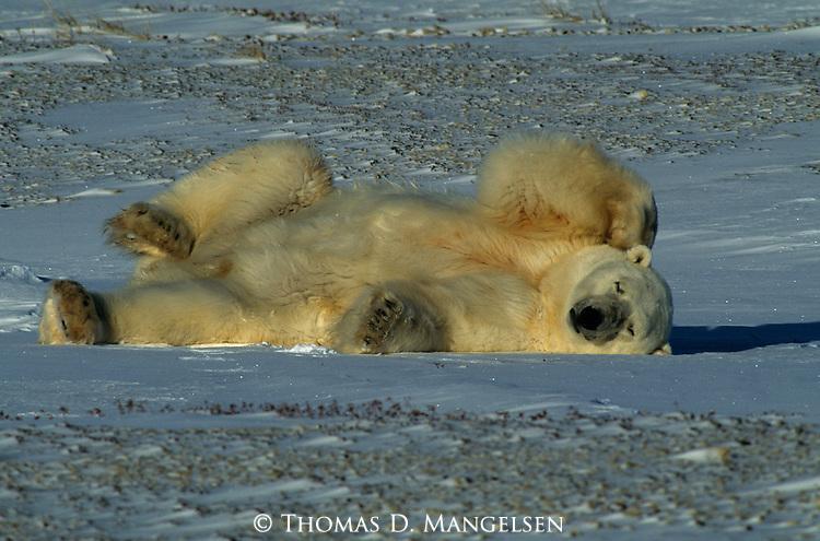 A polar bear sleeps on the snow in Canada.
