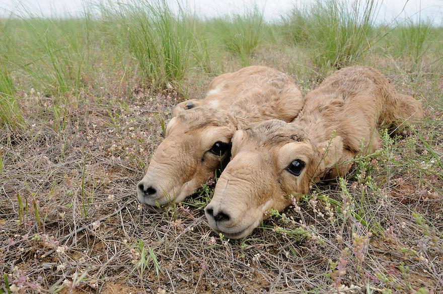 Mission: Saiga.Saiga (Saiga tatarica) newborns lie in the steppe grasses of Cherniye Zemly (Black Earth) Nature Reserve, Kalmykia, Russia, May 2009.Saiga tatarica
