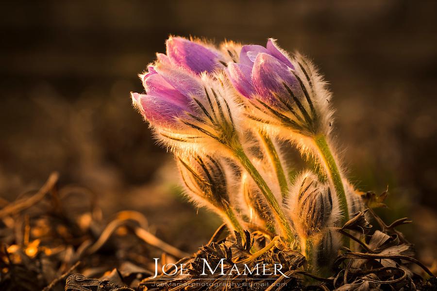 Pasque flowers in springtime.