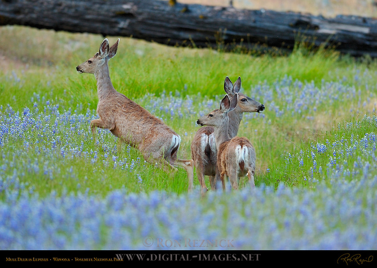 Mule Deer Does in Lupines in Spring, Black-tailed Deer, Odocoileus hemionus, North Wawona Meadow, Yosemite National Park