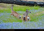 Mule Deer Does in Lupines in Spring, Black-tailed Deer, Odocoileus hemionus, North Wawona Meadow, Yosemite National Park