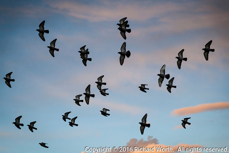 There are many collective nouns for Rock pigeons, but when they they take to the air in unison to soar and dive, swoop left then right, the term 'loft of pigeons' seems most fitting.