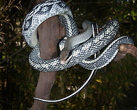 Beauty Snake (Elaphe taeniura), captive.