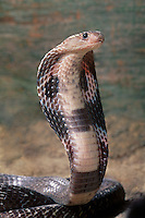 414334003 a captive indian cobra naja naja naja sits coiled with its head up and its hood expanded in a threat display - captive animal
